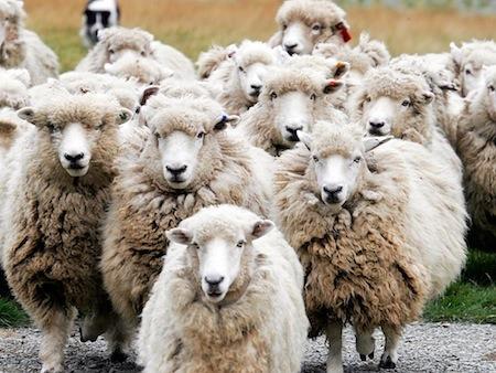 Sheep On Hogspy